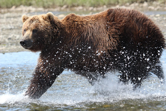 custom-alaska-package-bear-viewing.550-min